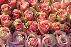 Pink roses in a bridal arrangement Royalty Free Stock Photos