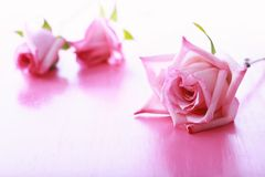 Pink roses on a bright Royalty Free Stock Photo