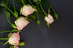 Pink roses with buds Stock Image