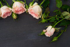 Pink roses with buds Royalty Free Stock Photo