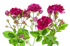 Pink roses with buds border Royalty Free Stock Images