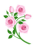 vector pink roses, buds and leaves. Stock Photos