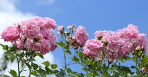 Pink roses. Royalty Free Stock Image