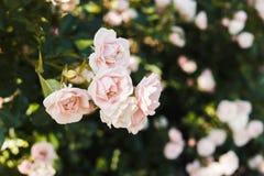 Pink roses bush Stock Photos