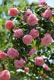 Pink roses. Bush of pink climbing roses in a garden Stock Photos
