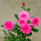 Pink roses on the bush Royalty Free Stock Photo