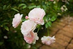 Pink roses bush in the garden Stock Photos