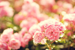 Pink roses bushes Stock Photos