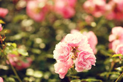 Pink roses bushes Royalty Free Stock Photography