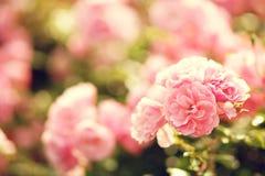 Pink roses bushes Royalty Free Stock Photos