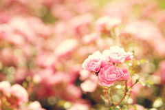 Pink roses bushes Royalty Free Stock Images