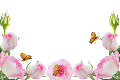 Pink roses. Roses and butterflies on a white background Royalty Free Stock Images