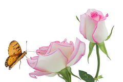 Pink roses. Roses with butterflies on white background Stock Image