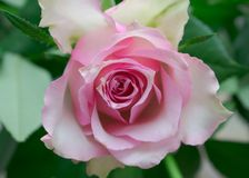 Natural and beautiful pale pink rose royalty free stock image