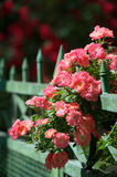 Pink roses climbing on fence Royalty Free Stock Images
