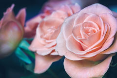 Pink roses close up Stock Photography
