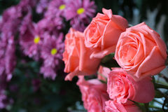 Pink roses close up. Background Royalty Free Stock Photo