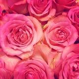 Pink roses Royalty Free Stock Photos