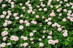 Pink roses close up Stock Photos
