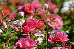 Pink roses, close up Stock Images