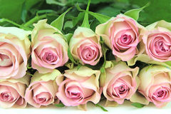 Pink roses, close-up image Royalty Free Stock Photo