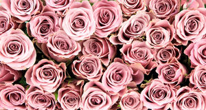 Pink roses, close-up image, as background Royalty Free Stock Images