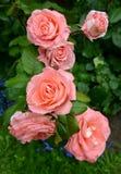 Pink roses, close up. Summer Stock Photo