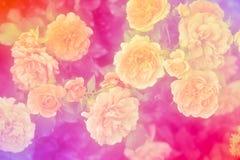 Pink roses close up. Vintage tones. Stock Photos