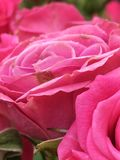 Pink Roses. Closeup of pink roses. Fresh and Pure Stock Photos
