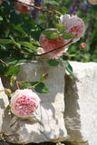 Pink roses closeup on stone wall. Closeup of pink roses growing in a cottage garden on a stone wall Stock Image