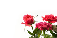 Pink roses closeup on the white background. Valentine day Royalty Free Stock Photo