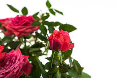Pink roses closeup on the white background. Valentine day Royalty Free Stock Photos