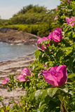 Pink roses on the coast Royalty Free Stock Image