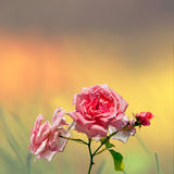 Pink roses on colorful background Stock Images