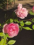 Pink roses colorful portrait royalty free stock photos