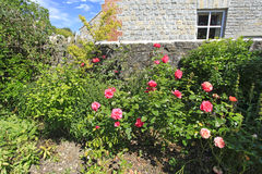 Pink Roses in a Country garden. A flowering Pink Rose bush blooming in an English Country garden Stock Photos