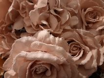 Pink roses covered with white frost royalty free stock images
