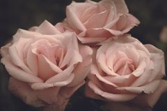 Pink roses on a dark background, romantic flowers Stock Photos
