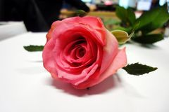 Pink roses, dedicated to the festival of love, the day of love of everyone. Flowers, pink roses, media for the meaning of love, in the Valentine`s Day `love day Stock Photography