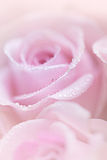 Pink Roses with Dew Royalty Free Stock Images