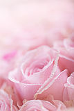 Pink Roses with Dew Stock Image