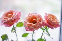 Pink roses with drops of dew on ligth background.