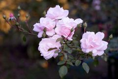 Pink roses at dusk. Goodbye summer. royalty free stock photography