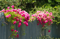 Pink roses on the fence Royalty Free Stock Image