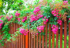 Pink roses at the fence Stock Images