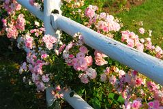 Pink roses fence. Pink roses at the white painted country house fence Royalty Free Stock Images