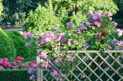 Pink roses on fence Stock Photography