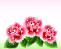 Pink roses Floral Design Elements. Vector Royalty Free Stock Photography