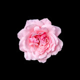 Pink roses flower with black background, frame, close up Royalty Free Stock Photography