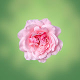 Pink roses flower with green degradee texture background, frame, close up Stock Photography
